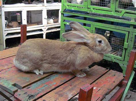 Harga Pelet Kelinci Pedaging kelinci pedaging kelinci perkelincian rabbit rabbitry