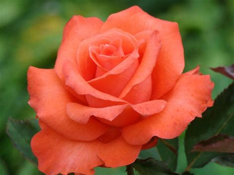 roses are roses forum which roses are your most fragrant ones