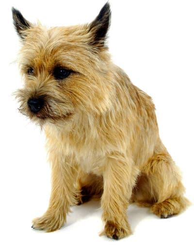 cairn terrier puppies ohio cairn terrier breed facts and links and pictures oh my
