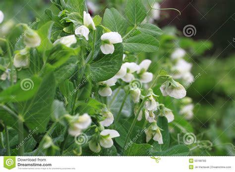 fiori di pisello pianta di pisello con il fondo dei fiori fotografia stock
