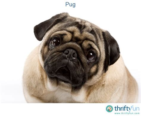 pug breed information pug breed information and photos thriftyfun