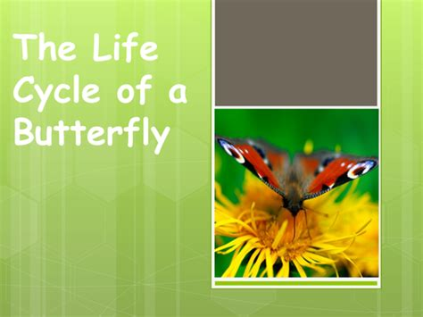 ppt the life cycle of ladybugs powerpoint presentation lifecycle of a butterfly by emma marie teaching