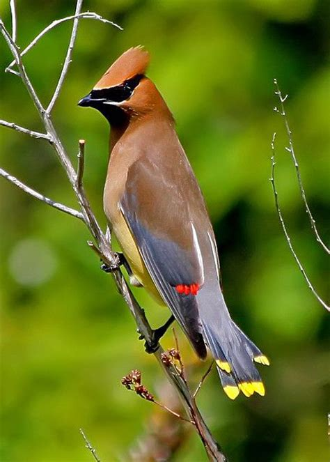 cedar waxwing our birds pinterest