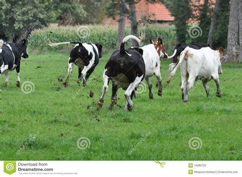 imagenes vacas locas vacas locas imagen de archivo imagen de running vacas