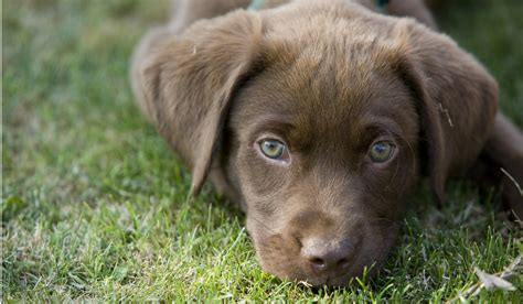how for dogs to puppies advice on caring for your labrador puppy