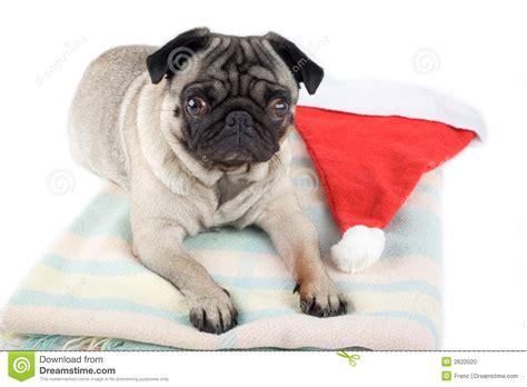 pug in santa hat pug and santa hat stock photo image 2622020