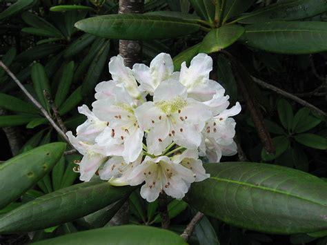 rhododendron brachycarpum tigerstedtii tree tigerstedt
