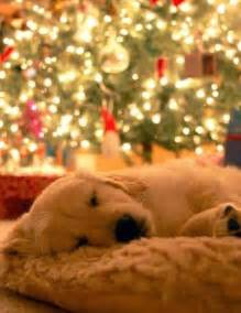 Comfort Retreiver More Christmas Animal Pictures Cute And Fun Christmas