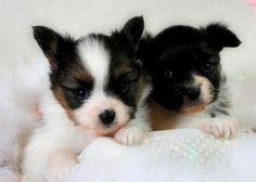 pomeranian husky calgary bullmastiff german shepherd mix puppies for sale dogs german shepherd