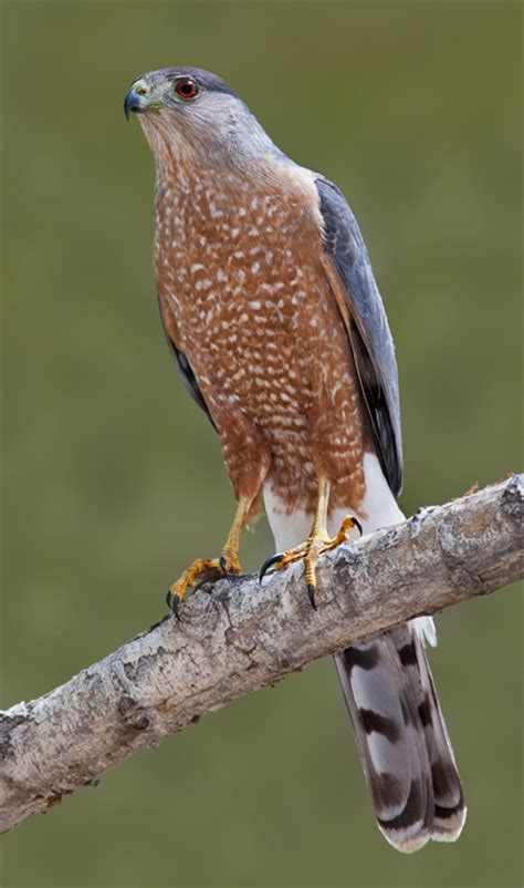 type of hawks in tn frequently asked questions hawks aloft inc