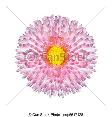 fiore perenne immagini di bello rosa fiore perenne isolato