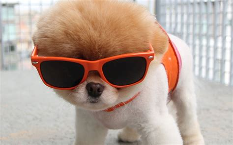puppy sunglasses puppies in sunglasses www imgkid the image kid has it