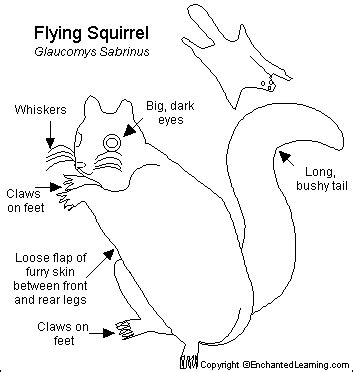 squirrel anatomy diagram shsmammals pteromyinae