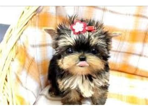 teacup yorkies for sale in cincinnati ohio sweet teacup tiny size yorkie puppies ready and available animals cincinnati