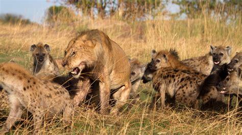 film lion vs hyena hyena hides from lions inside elephant carcass unnoticed