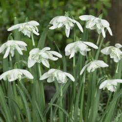 galanthus nivalis flore pleno snowdrop perennial early spring flowering bulbs choose
