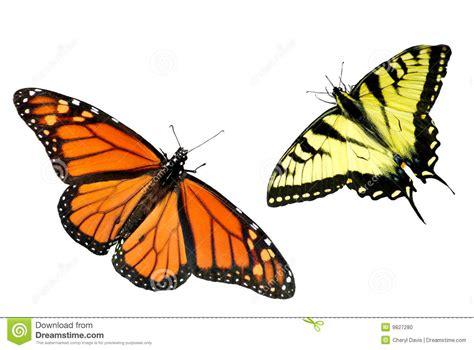 tigre y mariposa imagenes fondo de la mariposa de swallowtail del monarca y del