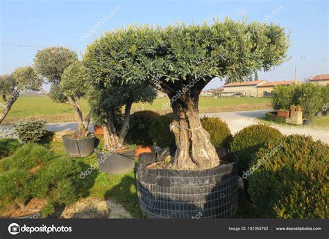 ulivo in vaso prezzo secolare albero ulivo vaso vendita foto stock
