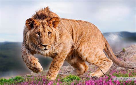 hd wallpapers for laptop lion lion pictures hd wallpapers lion hd animal wallpapers