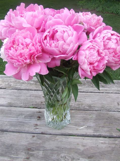 the pink peonies peony flower care and fun facts kristywicks com