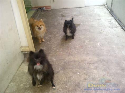 Anjing Pom Betina Dewasa dunia anjing jual anjing pomeranian jual anjing pom 4