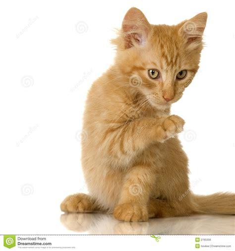 Ginger Cat Kitten Royalty Free Stock Image   Image: 2765356