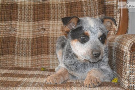 blue heeler puppies for sale in ky australian cattle blue heeler puppy for sale near louisville kentucky f8b7840a fc41