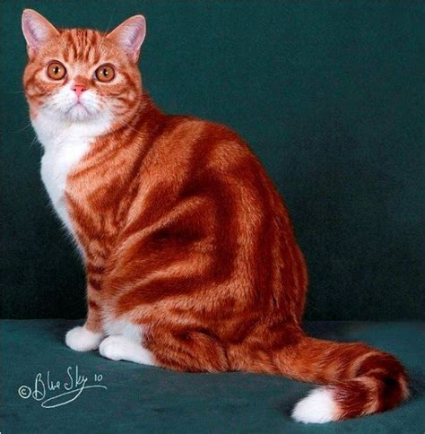 kucing american shorthair ash cat www kucing biz