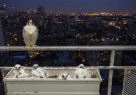 peregrines and a photographer bunk out at chicago man s
