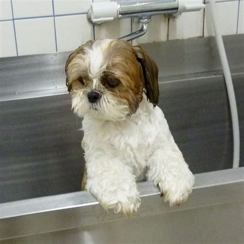 how to bathe a shih tzu puppy 17 best ideas about shih tzu on shih tzu puppy baby shih tzu and shih tzu