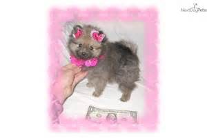 Cute pomeranian puppy for sale for 899 exquisite tiny teddy bear