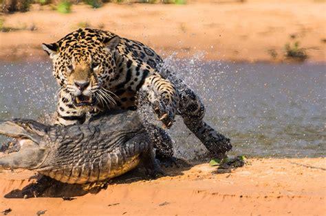 war of predators jaguar vs caiman 2 pravdareport