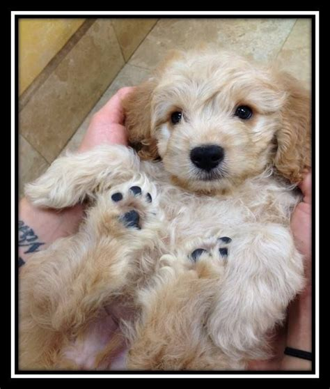 goldendoodle puppy potty goldendoodle miniature and goldendoodle on