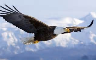 Bald eagle in mid air flight pgcps mess reform sasscer without