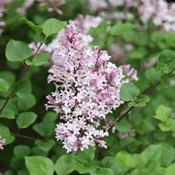 lilacs bush lilac bush shrubs bushes small trees pinterest