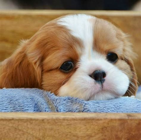 free king charles cavalier puppies cavalier king charles spaniel puppy ternuritas king charles spaniels