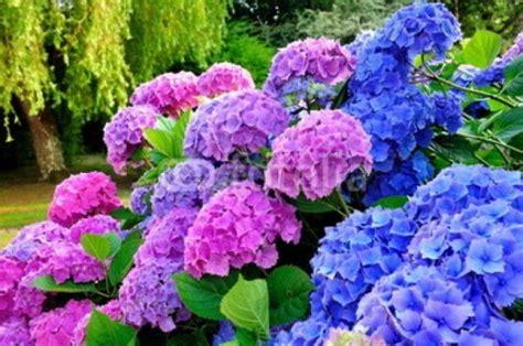 imagenes de jardines con hortensias cuadro hortensias lilas y azules en un jardin 100 a medida