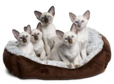 siamese cats kittens  adoption