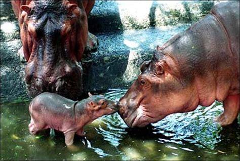 what color are hippos what color are hippos yahoo answers