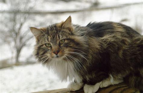 sedia norvegese bellissimi cuccioli di gatto norvegese delle foreste