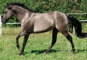 grulla color grulla quarter stallion a but desired