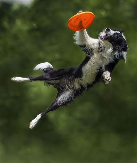 how to to catch frisbee a border collie appears to fly as it leaps to catch a frisbee in mid air