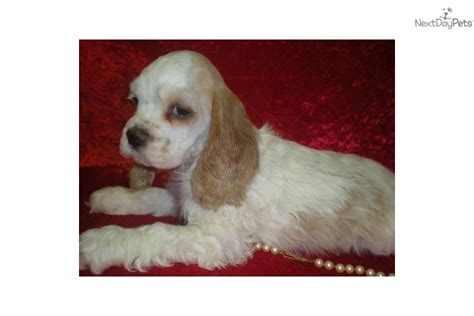 cocker spaniel puppies for sale mn cocker spaniel puppy for sale near minneapolis st paul