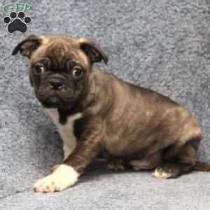pug mix puppies for sale in pa pug mix puppies for sale in de md ny nj philly dc and baltimore
