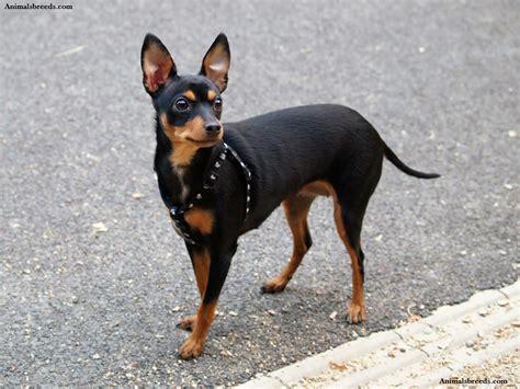 Mini Pinscher Shedding by Miniature Pinscher Puppies Rescue Pictures
