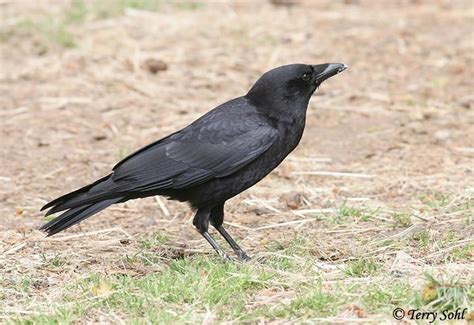 best 28 american crows for sale miami radio host will