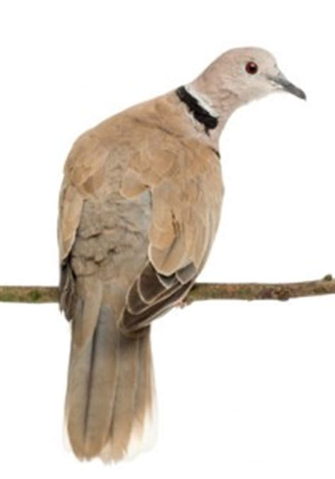 ring necked dove personality food care pet birds by