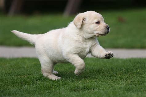 best puppy food for labs best food for labrador puppies pets world
