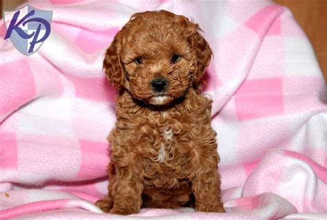 keystone puppies cavapoo puppies for sale in pa keystone puppies cavapoo puppies