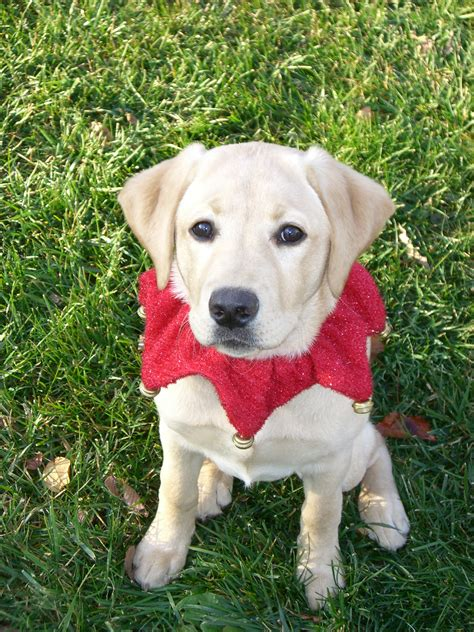 lab puppies for sale in ct labrador retriever puppies for sale in connecticut